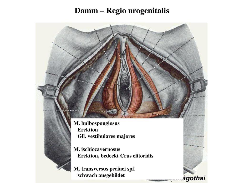 Fantastisch Beckenboden Anatomie Ppt Bilder - Anatomie Von ...