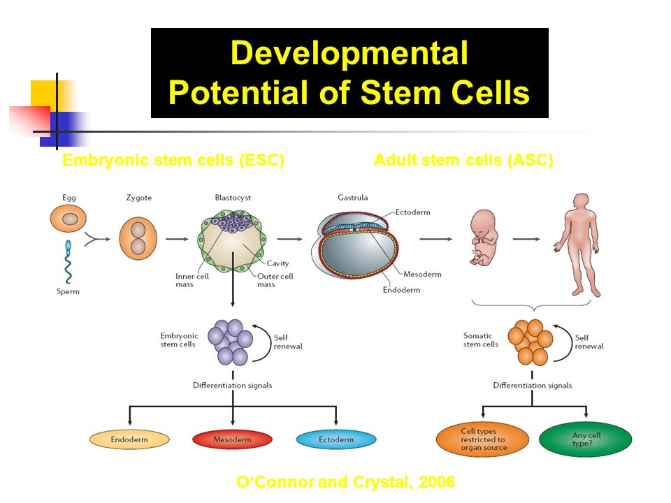 Developmental Potential of Stem Cells