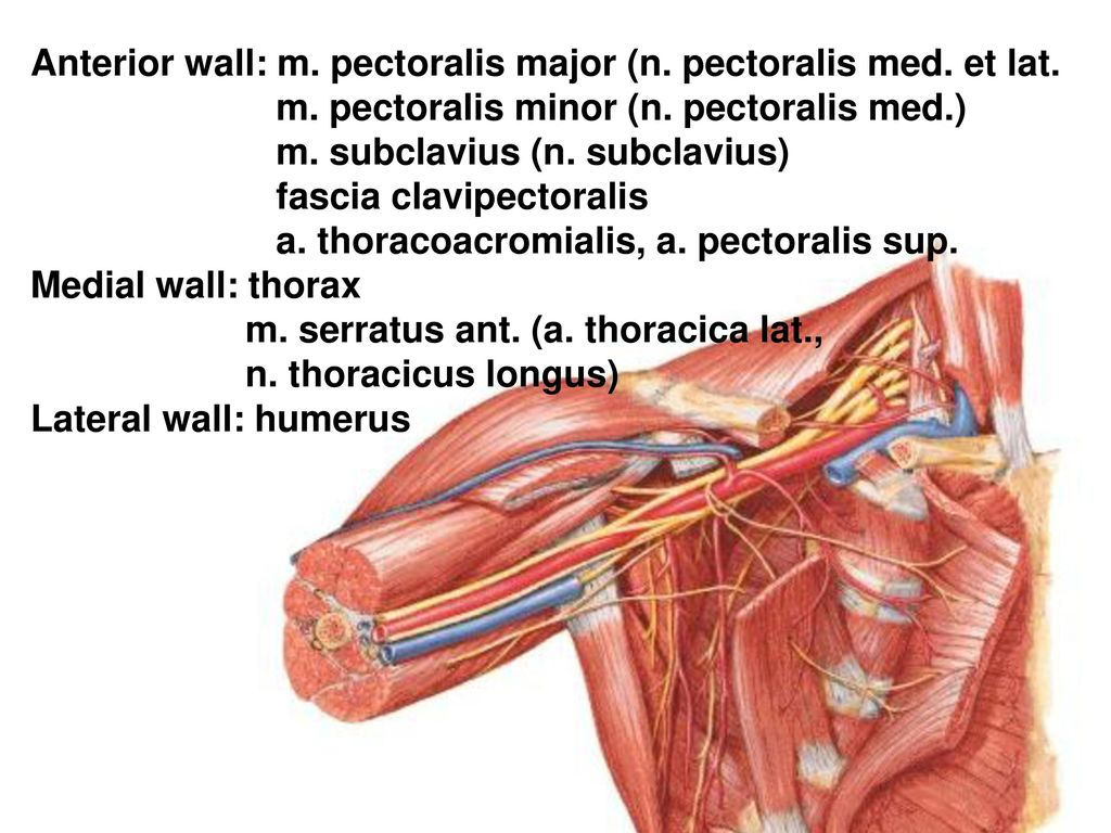 REGIONAL ANATOMY OF THE UPPER LIMB - ppt herunterladen