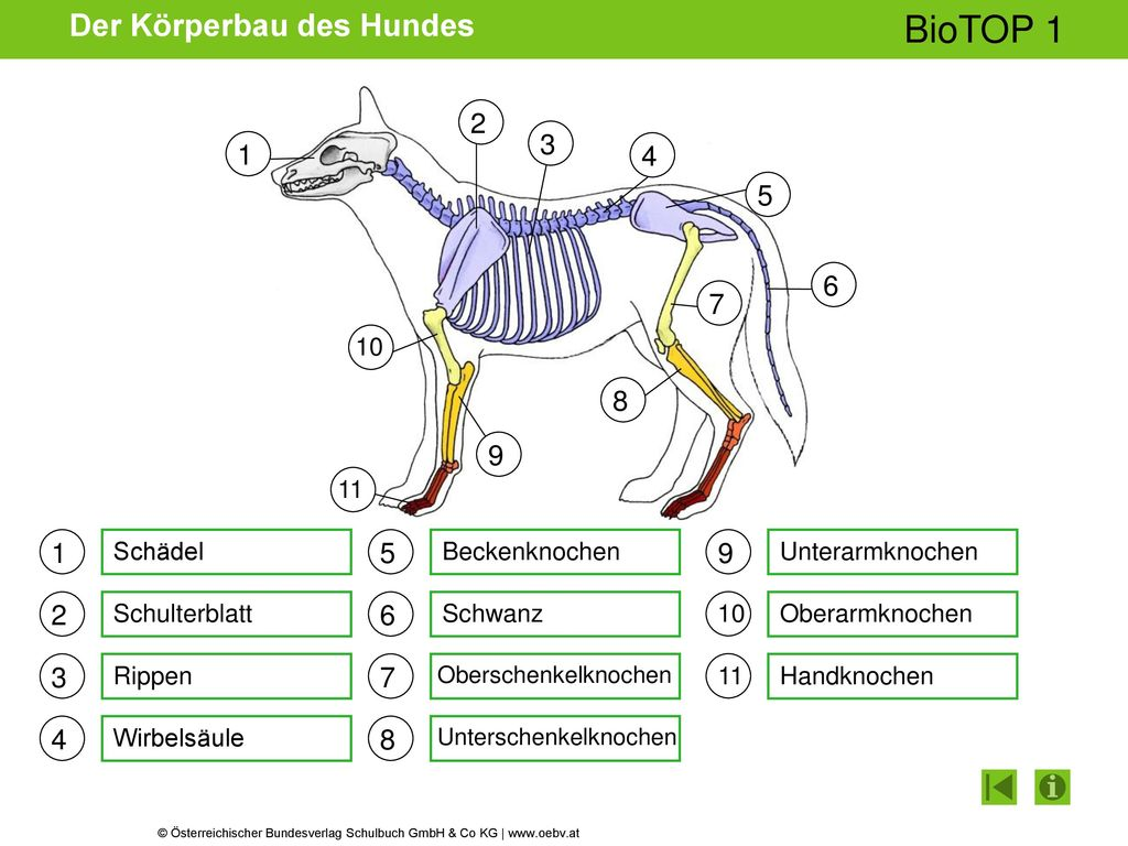 Erfreut Lage Des Oberschenkelknochens Fotos - Anatomie Von ...