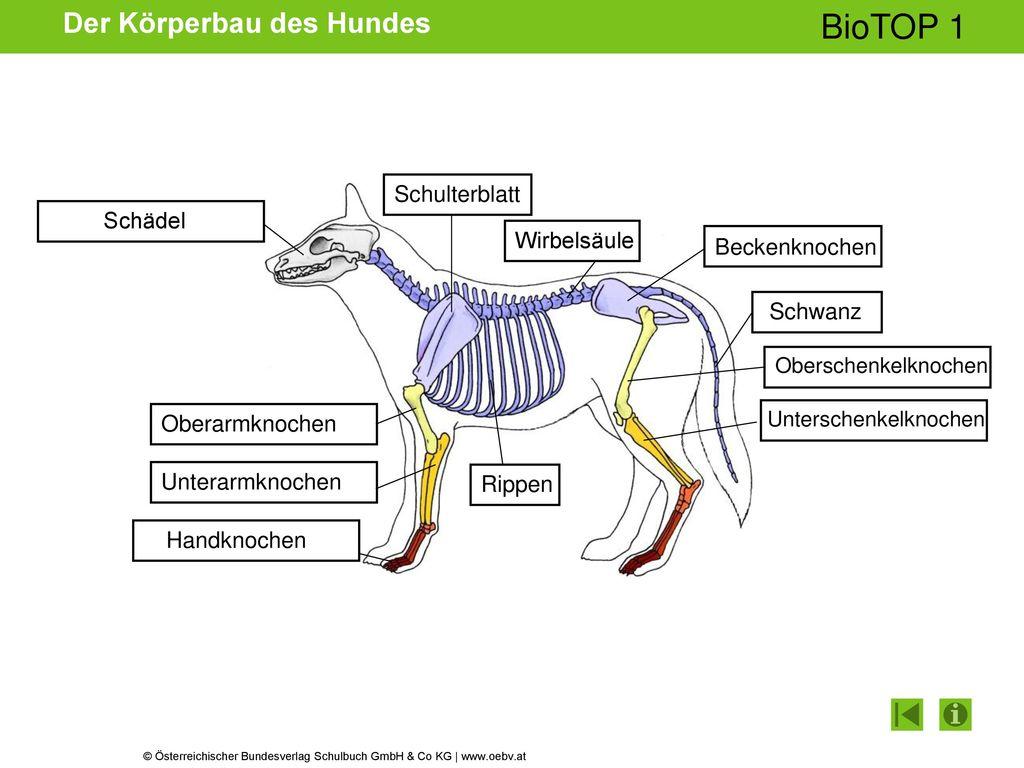 Der Körperbau des Hundes - ppt herunterladen