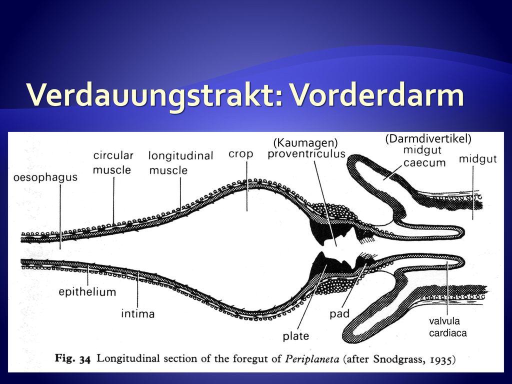 Anatomie Björn Brembs Biologie der Insekten Anatomie Björn Brembs ...