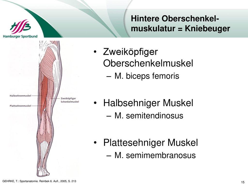 Großartig Anatomie Kniebeuger Bilder - Menschliche Anatomie Bilder ...