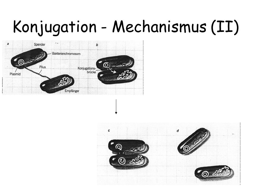 Konjugation - Mechanismus (II)