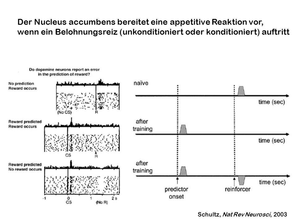 Der Nucleus accumbens bereitet eine appetitive Reaktion vor,