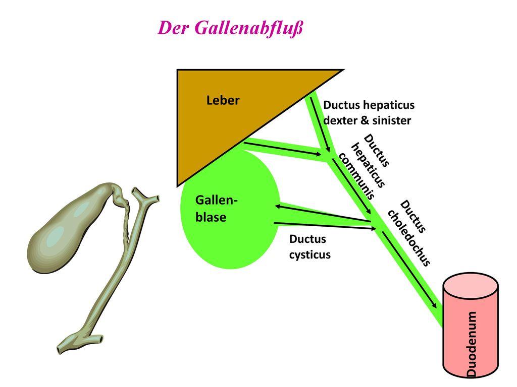 Wunderbar Anatomie Und Histologie Der Leber Bilder - Anatomie Von ...