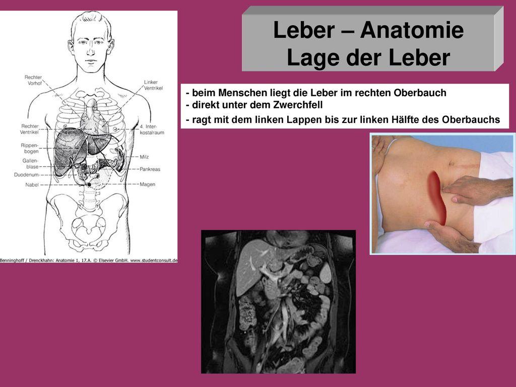 Leber und Pankreas Anatomie - Histologie - ppt herunterladen