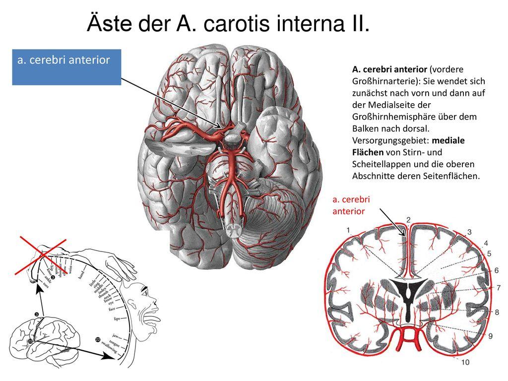 Allgemeine Anatomie des ZNS, Gehirngefäße, Hirnhäute, Liquor ...
