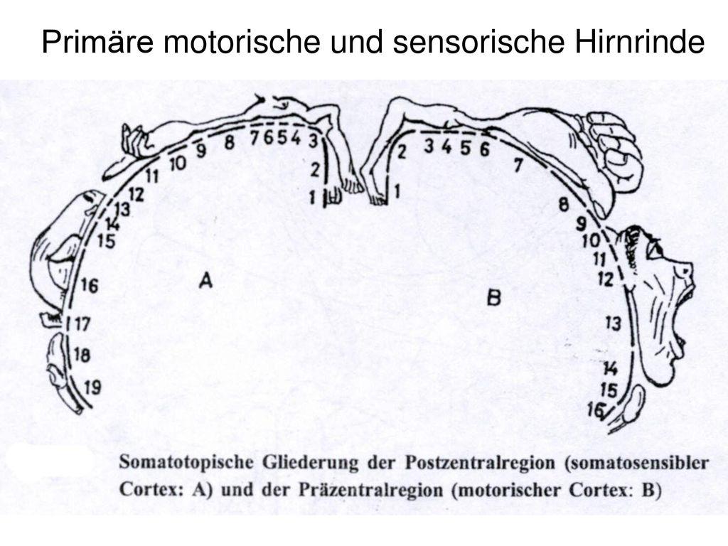 Niedlich Hirnrinde Zeitgenössisch - Physiologie Von Menschlichen ...