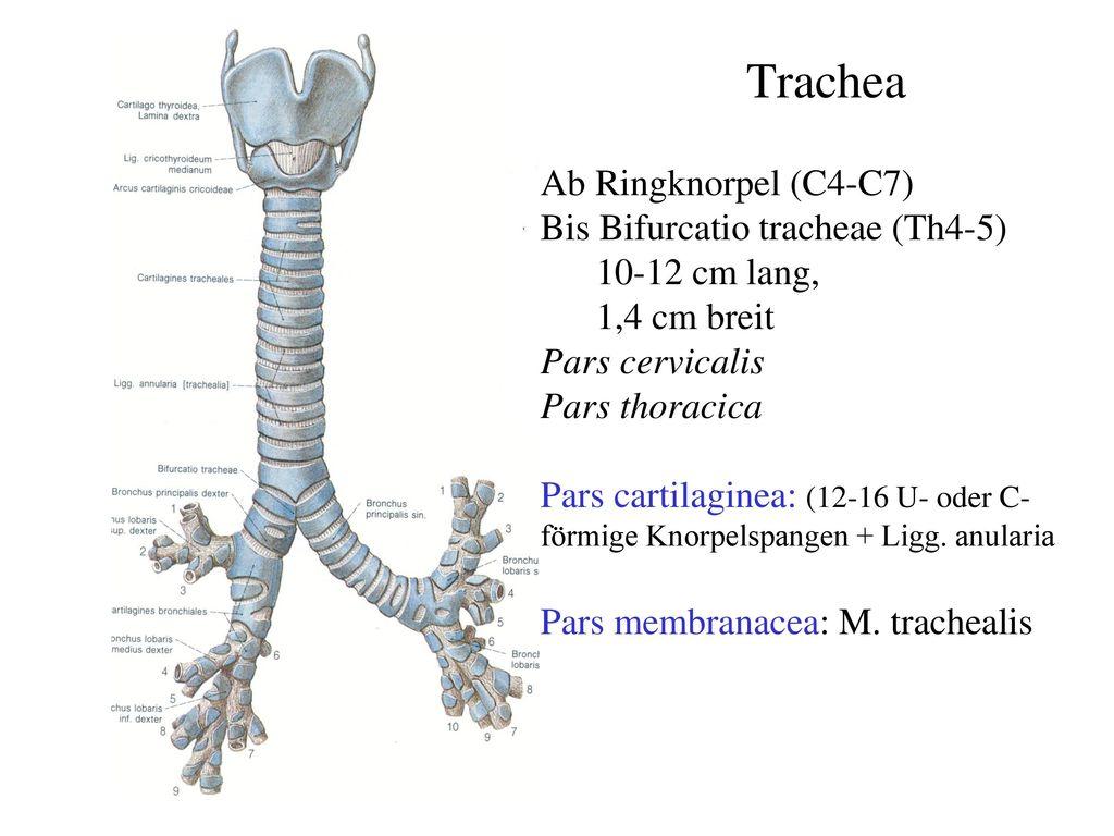 Trachea Lunge Pleura Dr Anna Nmeth Ppt Herunterladen