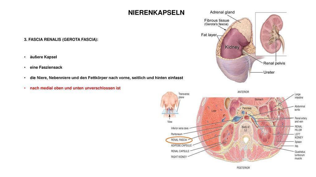 HARNSYSTEM HARNBEREITUNG AND ABLEITENDE HARNWEGE - ppt herunterladen