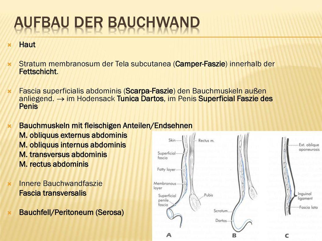 Bauchwand. Chirurgische Bedeutung des Leistenkanals. Bruchkanäle ...