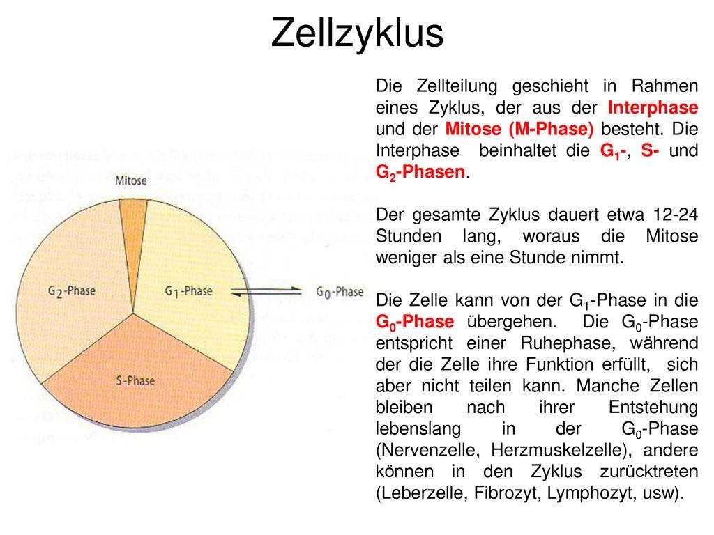 Zellteilung, Mitose, Meiose - ppt herunterladen