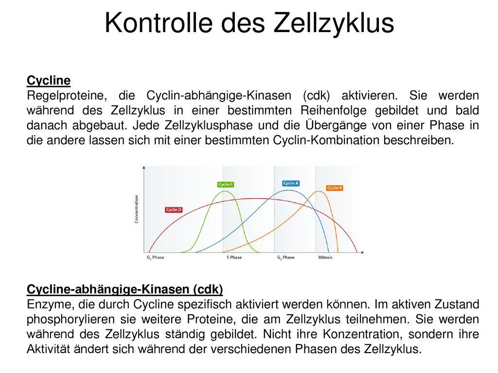 Darstellung Der Verschiedenen Zellzyklus Phasen – Tintnwrap