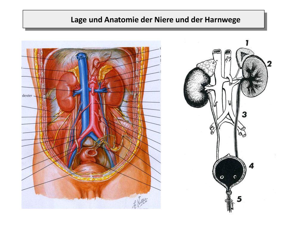 Aufbau der Niere (Anatomie: makroskopisch; mikroskopisch) - ppt ...