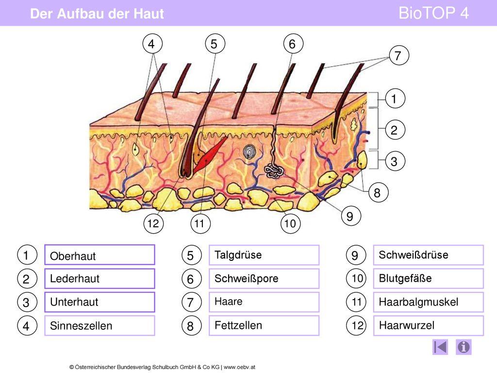 Der Aufbau der Haut schrittweiser Aufbau des Tafelbildes   ppt ...