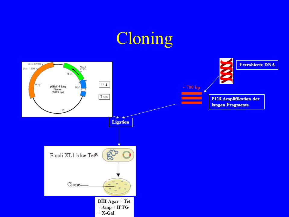 Cloning Extrahierte DNA ~ 700 bp PCR Amplifikation der