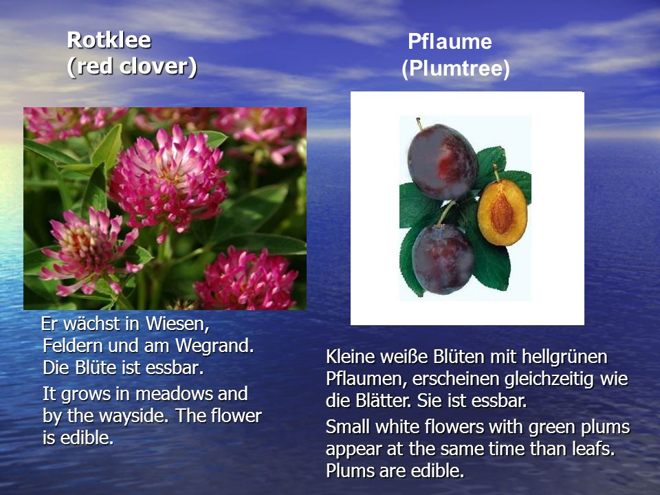 Rotklee (red clover) Pflaume (Plumtree)