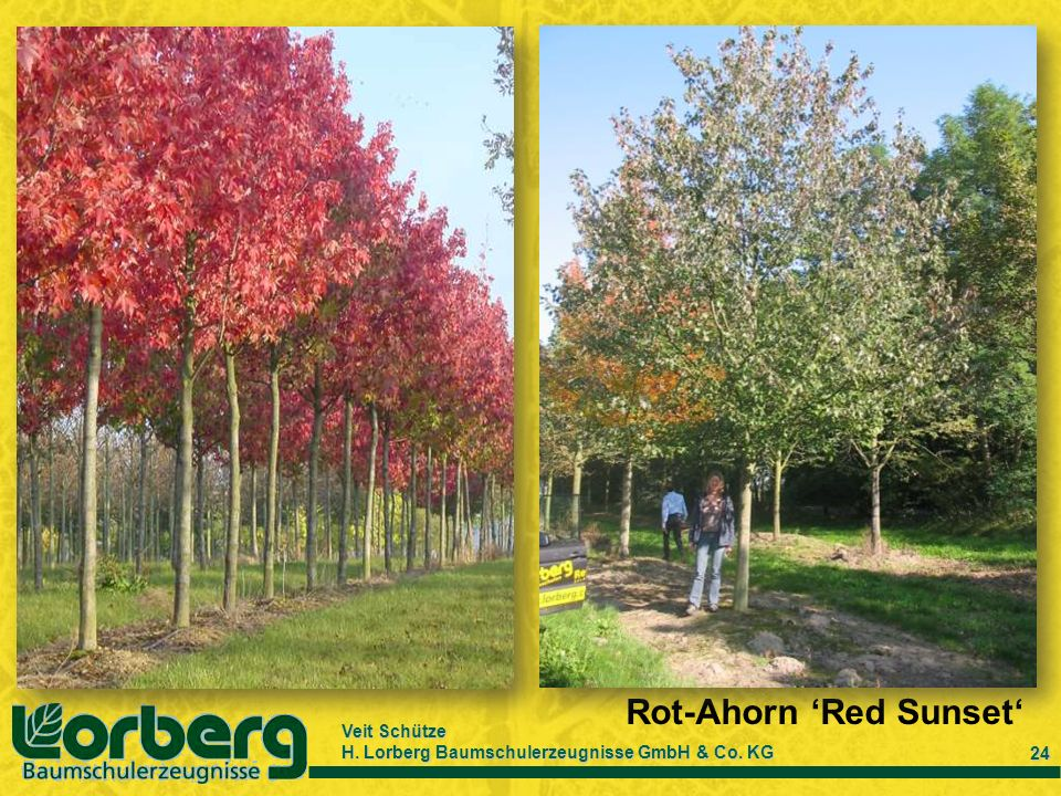 Rot-Ahorn 'Red Sunset'