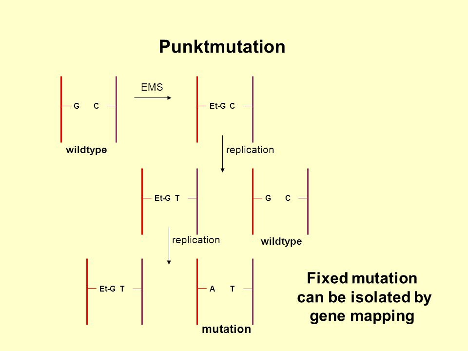 Punktmutation Fixed mutation can be isolated by gene mapping mutation