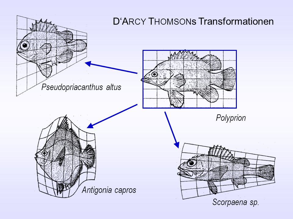 D'ARCY THOMSONs Transformationen