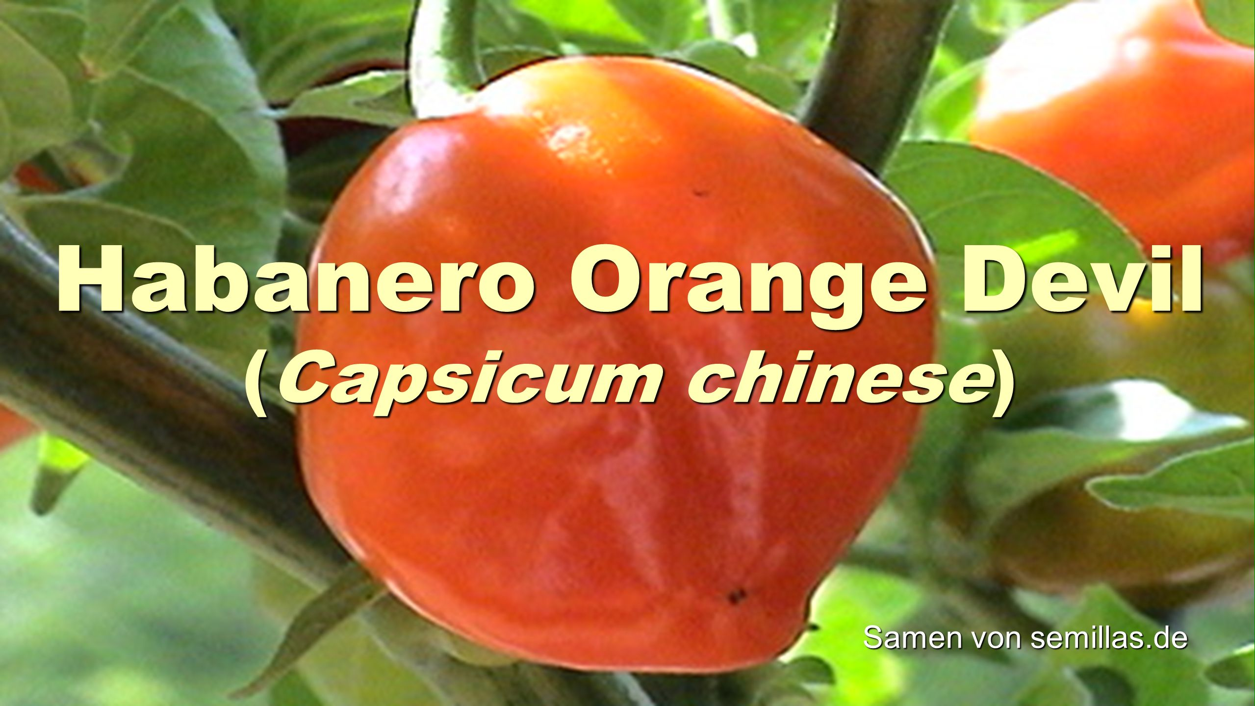 Habanero Orange Devil (Capsicum chinese)