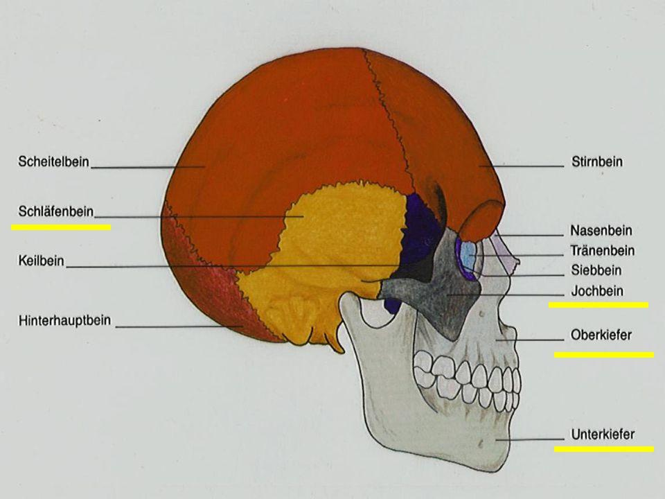 Endodontische Behandlungen begleiten 04 Knochenaufbau und Schädel ...