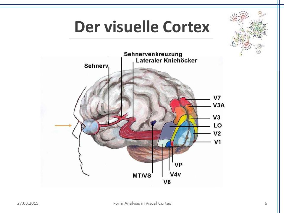 Form Analysis in Visual Cortex