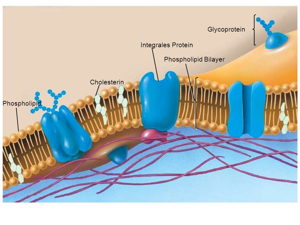 Glycoprotein Integrales Protein Phospholipid Bilayer Cholesterin