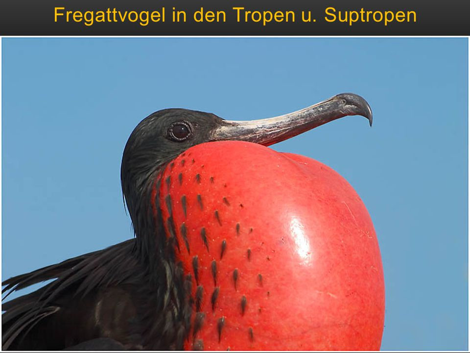 Fregattvogel in den Tropen u. Suptropen