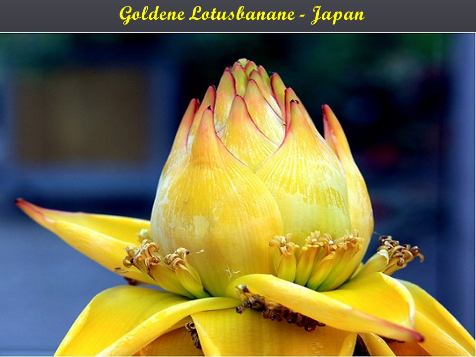 Goldene Lotusbanane - Japan