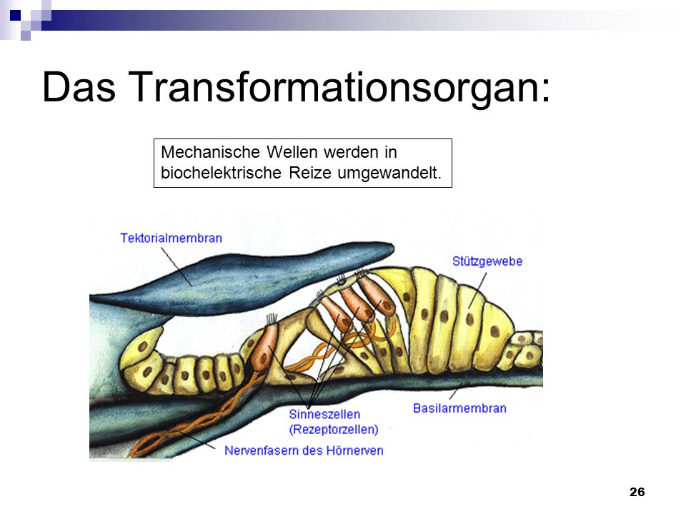 Das Transformationsorgan: