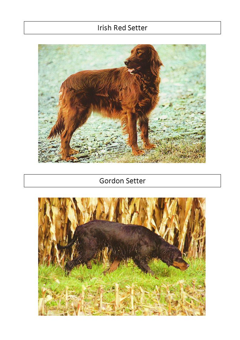 Irish Red Setter Gordon Setter