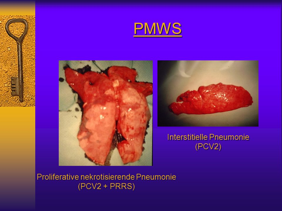 PMWS Interstitielle Pneumonie (PCV2)