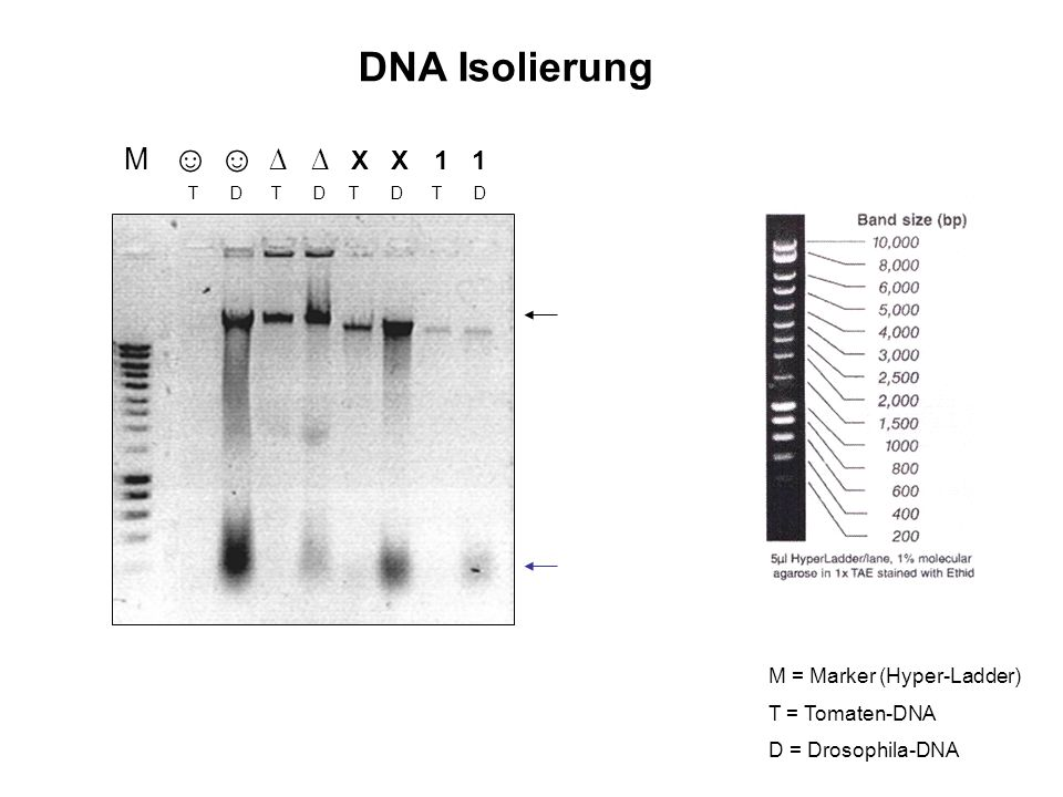 DNA Isolierung M ☺ ☺ ∆ ∆ X X 1 1 M = Marker (Hyper-Ladder)
