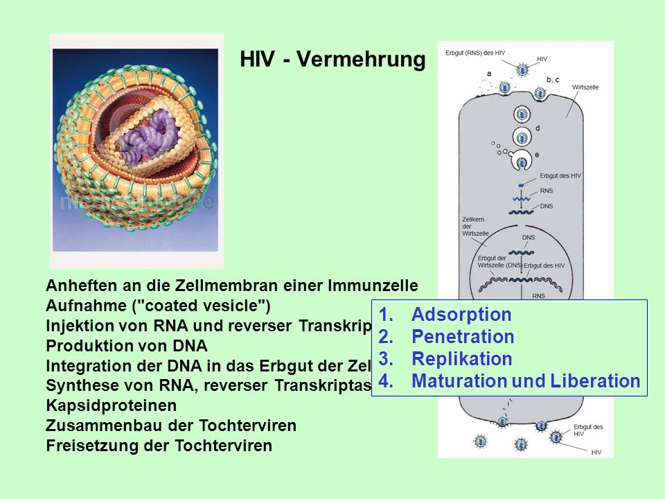 HIV - Vermehrung Adsorption Penetration Replikation