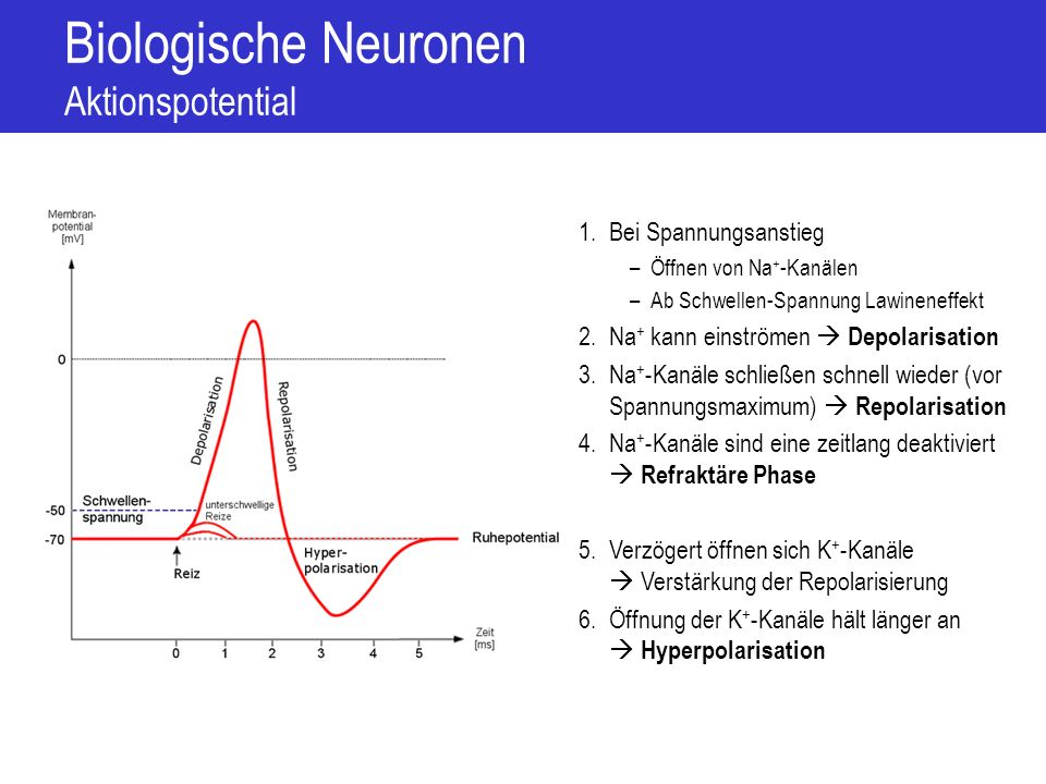Biologische Neuronen Aktionspotential
