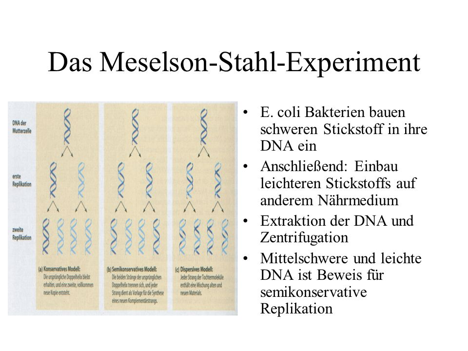 Das Meselson-Stahl-Experiment