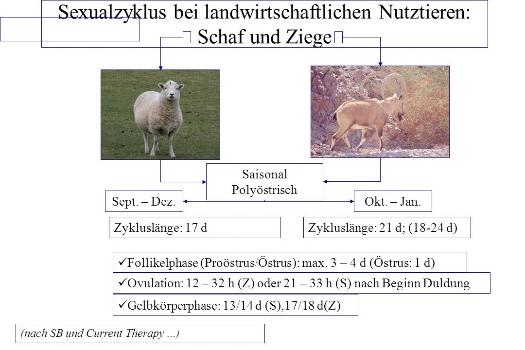 Sexualzyklus bei landwirtschaftlichen Nutztieren: Schaf und Ziege ...