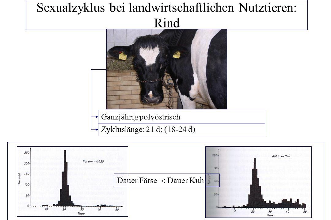 Sexualzyklus bei landwirtschaftlichen Nutztieren: Rind - ppt ...