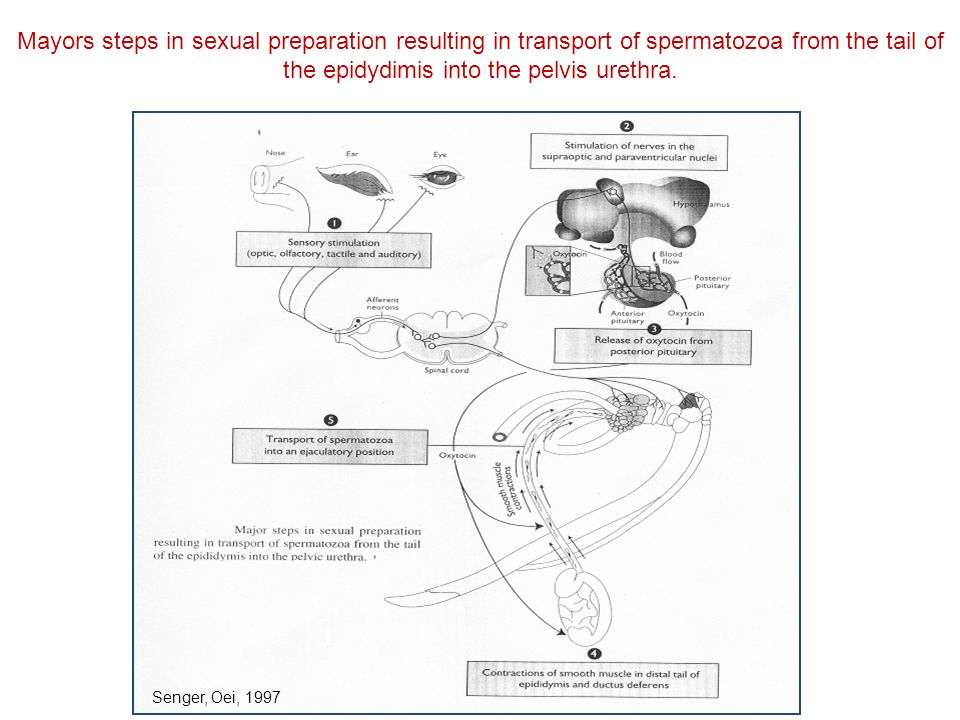 Mayors steps in sexual preparation resulting in transport of spermatozoa from the tail of the epidydimis into the pelvis urethra.
