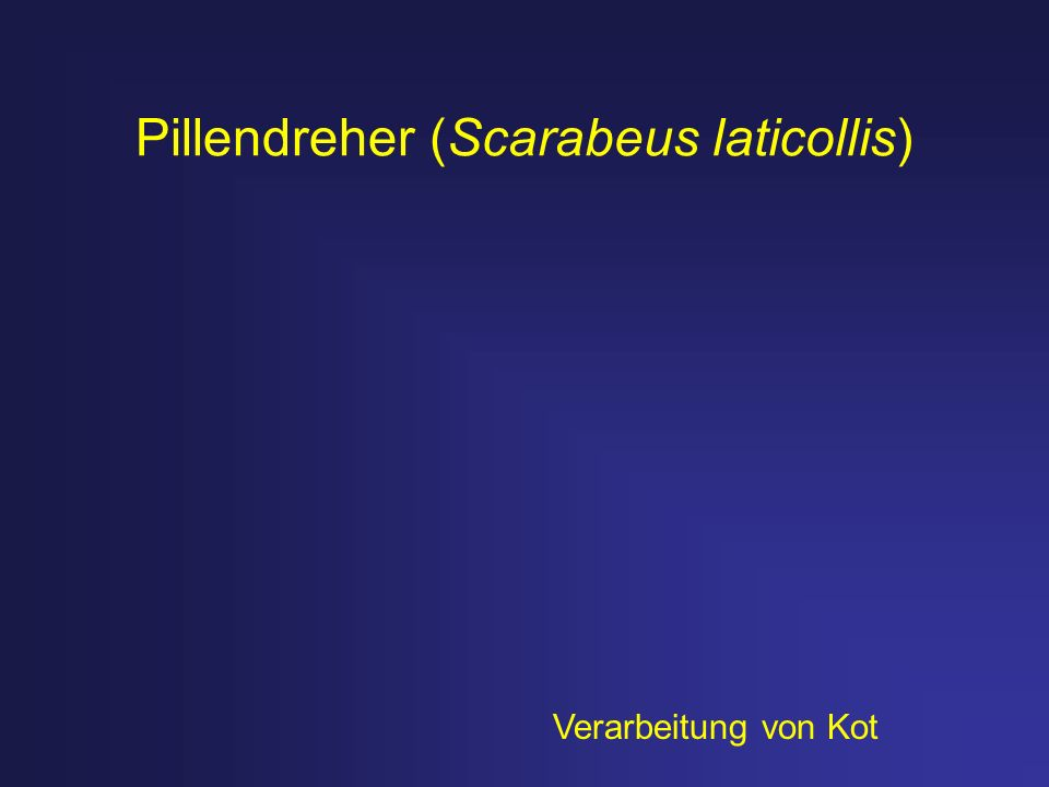 Pillendreher (Scarabeus laticollis)