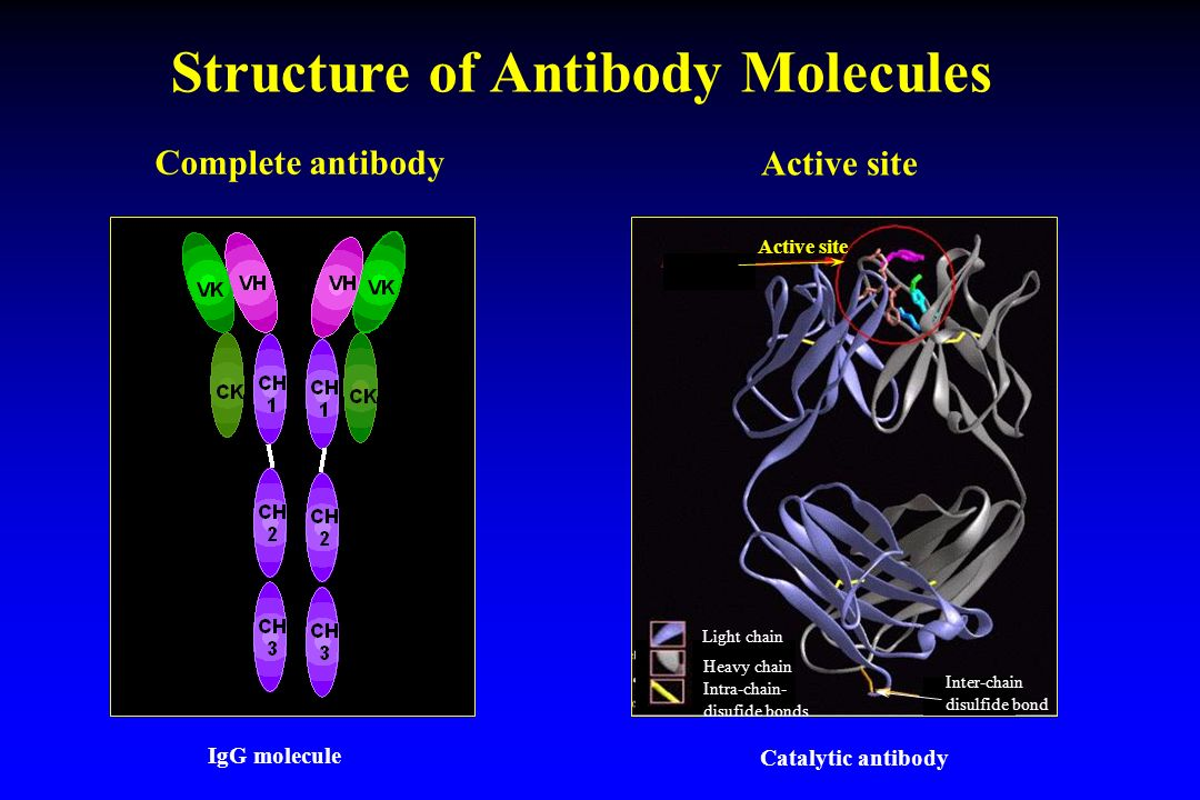 Structure of Antibody Molecules