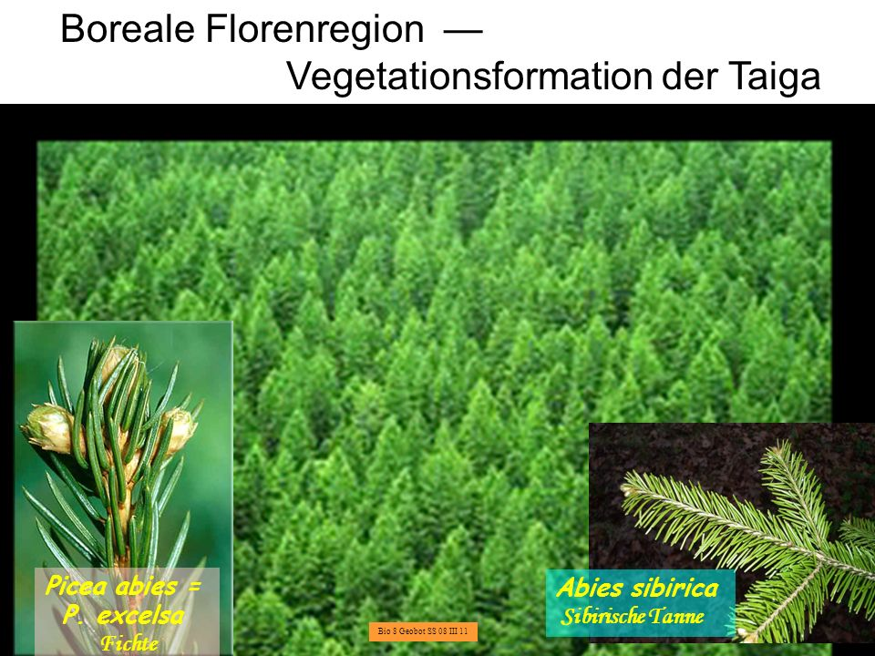 Boreale Florenregion — Vegetationsformation der Taiga