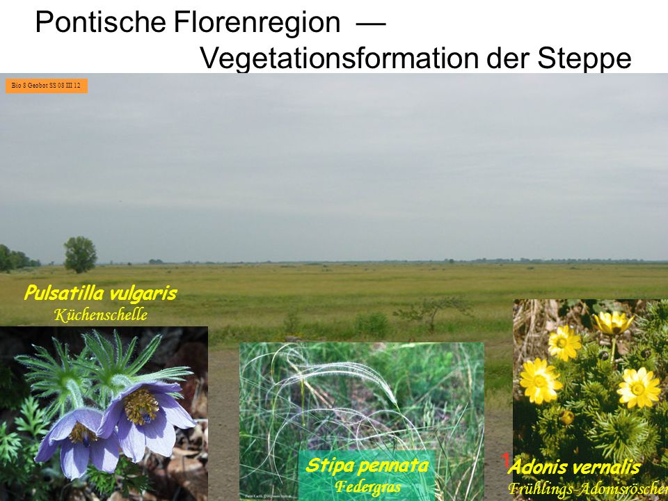 Pontische Florenregion — Vegetationsformation der Steppe