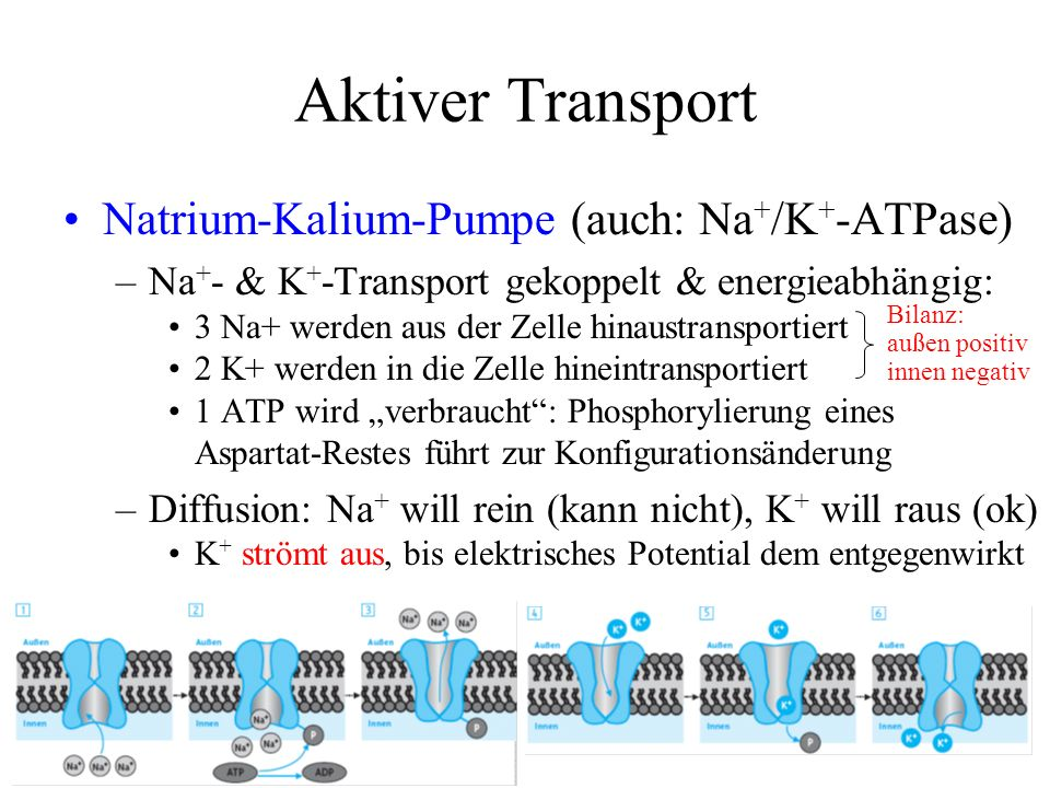 Aktiver Transport Natrium-Kalium-Pumpe (auch: Na+/K+-ATPase)