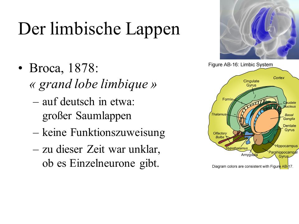 Der limbische Lappen Broca, 1878: « grand lobe limbique »