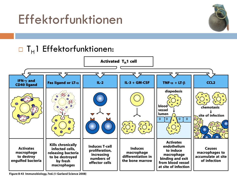 Effektorfunktionen TH1 Effektorfunktionen: