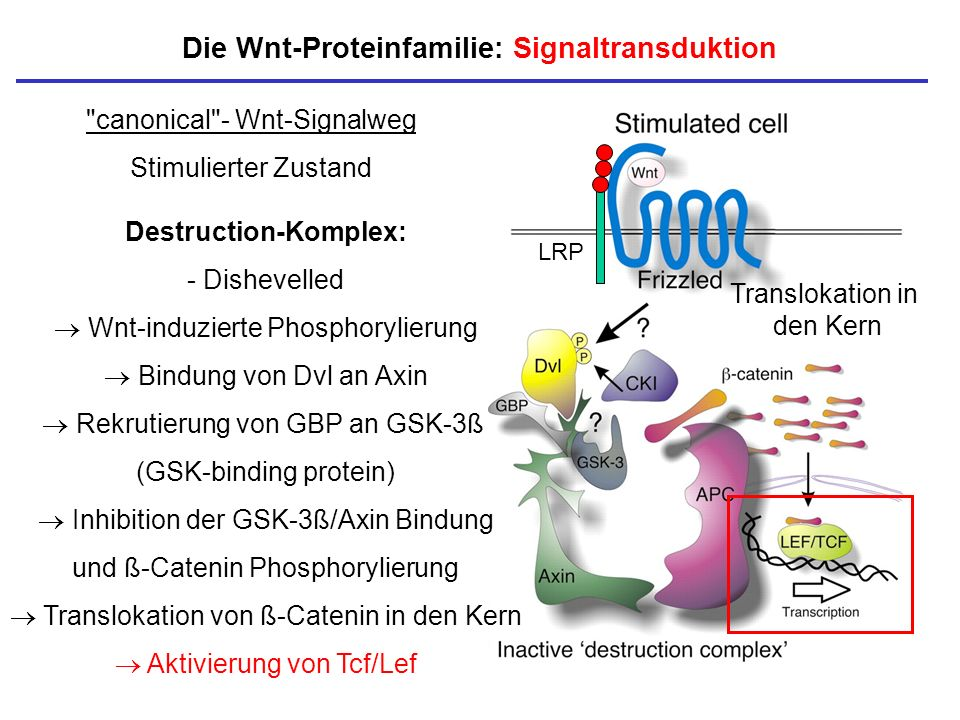 Die Wnt-Proteinfamilie: Signaltransduktion Destruction-Komplex:
