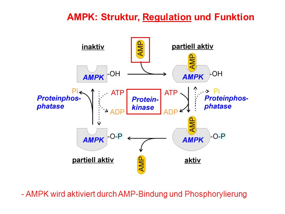AMPK: Struktur, Regulation und Funktion